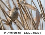 sparrow on reed at lake | Shutterstock . vector #1332050396