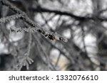 fir branches in hoarfrost. snow ... | Shutterstock . vector #1332076610
