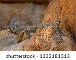 Common Rock Hyrax   Procavia...