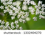 aegopodium. the most well known ... | Shutterstock . vector #1332404270