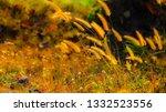 the golden grass flowers are... | Shutterstock . vector #1332523556