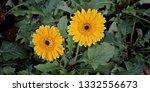 detail of an yellow gerbera ... | Shutterstock . vector #1332556673