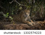 A Regal Jaguar Resting In The...