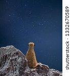 Closeup Meerkat Is Looking At...