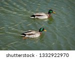 the mallard  two adult  male... | Shutterstock . vector #1332922970