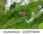 eurasian tree sparrow is on the ... | Shutterstock . vector #1332973643