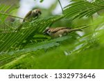 eurasian tree sparrow is on the ... | Shutterstock . vector #1332973646