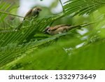 eurasian tree sparrow is on the ... | Shutterstock . vector #1332973649