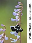 Thyris Moth On Carolina Vetch ...