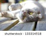 Tabby Scottish Fold Cat Lying...