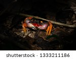A Colorful Halloween Crab in Central America