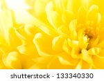 Close Up Of Yellow Flower Aster ...
