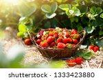 strawberry field on fruit farm. ...   Shutterstock . vector #1333423880