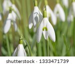 blooming snowdrops  galanthus | Shutterstock . vector #1333471739