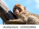 portrait of an ape  | Shutterstock . vector #1333523846