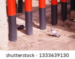 Stock photo pigeons and japanese shinto shrine red torii which are gates for spiritual dimensions 1333639130