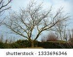 splendid old cherry tree at the ...   Shutterstock . vector #1333696346