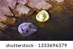 Duck In Dirty Water