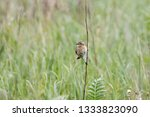 whinchat  saxicola rubetra ... | Shutterstock . vector #1333823090