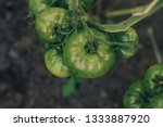green tomatoes grow on a branch | Shutterstock . vector #1333887920