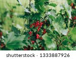red currant bush in the garden | Shutterstock . vector #1333887926