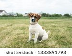 puppy jack russell played on... | Shutterstock . vector #1333891793