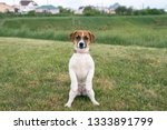 puppy jack russell played on... | Shutterstock . vector #1333891799