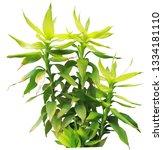 dracaena braunii   green lucky...   Shutterstock . vector #1334181110