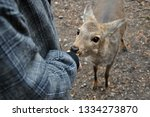 wild deer being feed with... | Shutterstock . vector #1334273870