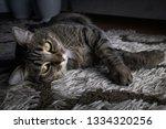 portrait of a gray striped...   Shutterstock . vector #1334320256