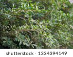 close up leaves of banyan tree . | Shutterstock . vector #1334394149