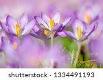 close up of growing crocus on a ...   Shutterstock . vector #1334491193