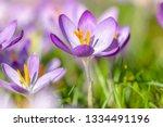 close up of growing crocus on a ...   Shutterstock . vector #1334491196