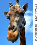 giraffe  giraffa camelopardalis ... | Shutterstock . vector #1334499116