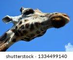 giraffe  giraffa camelopardalis ... | Shutterstock . vector #1334499140