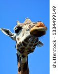 giraffe  giraffa camelopardalis ... | Shutterstock . vector #1334499149