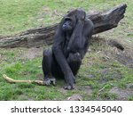 ape is posing | Shutterstock . vector #1334545040