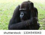ape is posing | Shutterstock . vector #1334545043