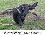 ape is posing | Shutterstock . vector #1334545046