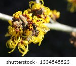 first fly on a hamamelis flower ... | Shutterstock . vector #1334545523