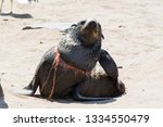 A Seal With A Noose Around His...