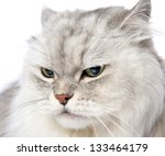 Closeup Persian Gray Cat...