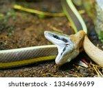 Double Head Snake