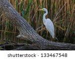 great white egret  egretta alba ...   Shutterstock . vector #133467548