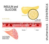 insulin and glucose. beta cells ... | Shutterstock .eps vector #1334698616