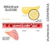 insulin and glucose. beta cells ... | Shutterstock .eps vector #1334698616