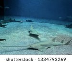 Longcomb Sawfish Is Now...