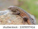 western side blotched lizard... | Shutterstock . vector #1335057416