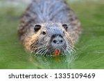 muskrat  ondatra zibethica  in... | Shutterstock . vector #1335109469