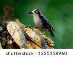 Black Cheeked Woodpecker  ...